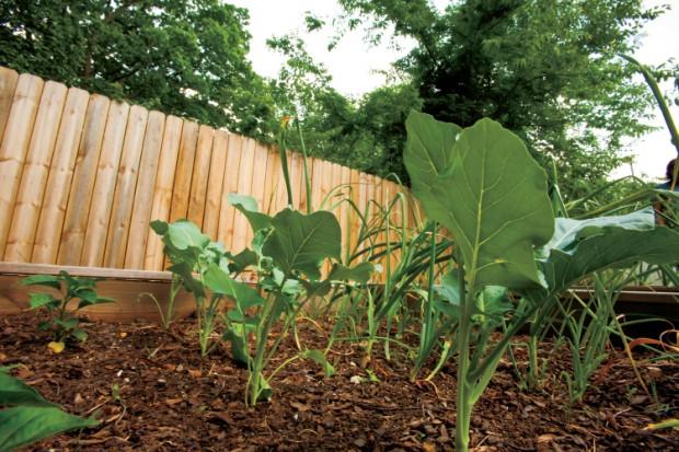 broccoli plants grow in a spring garden