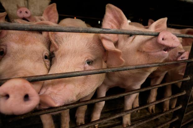 Illinois pigs