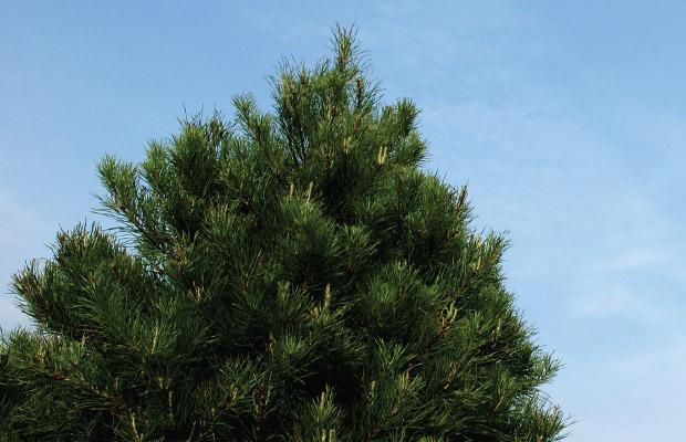 Christmas_tree_enthusiast