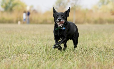Healthy dog running