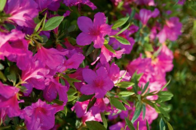 Azalea in Bloom at Honor Heights Park.