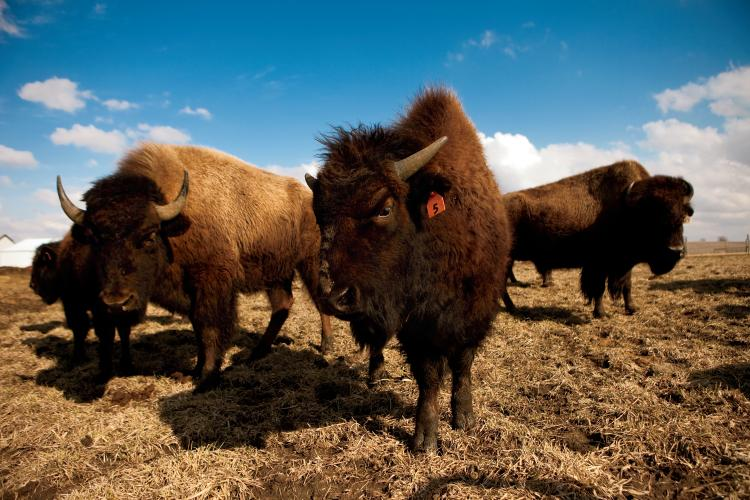 Terry Lieb starting raising bison about 8 years ago when he bought his first bison for his farm in Monticello, Il. Since then, Lieb has grown his herd to about 20 bison and has converted 60 acres from his soybean fields into pasture for the enormous creatures that reach upwards of 2000 pounds.