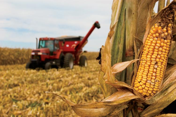 Image result for corn harvest