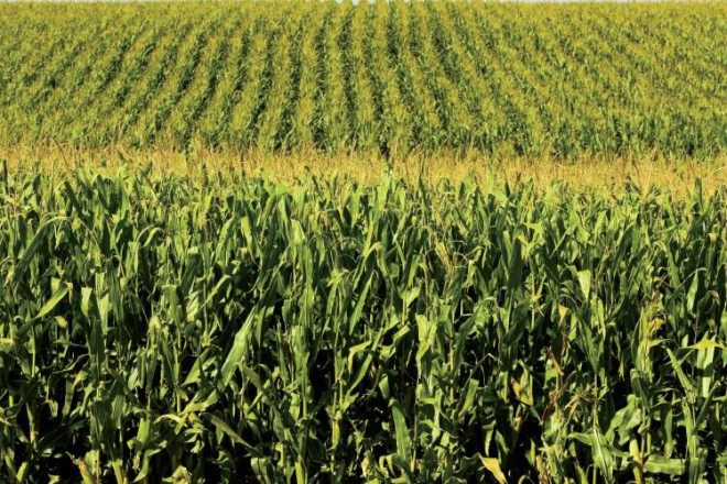 Cornfield in Illinois – September