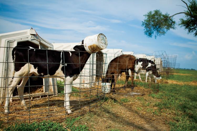 Krowy na farmie mlecznej w Greenville, Illinois