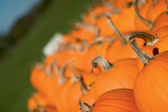 Pumpkins grow in a pumpkin patch