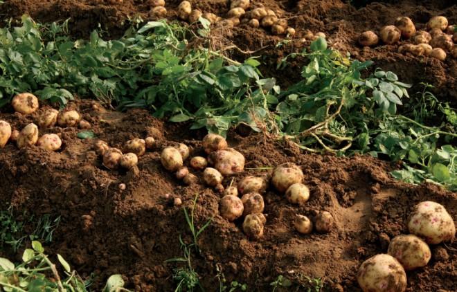 potato facts