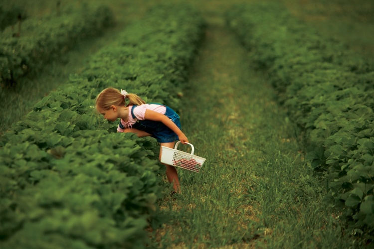 Pick-Your-Own Strawberries at Illinois Farms