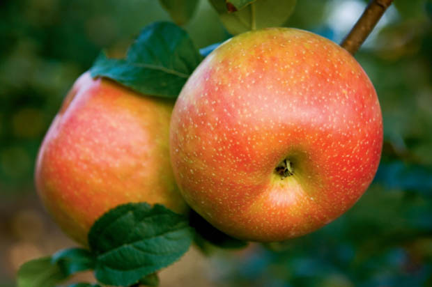Apple Facts and Recipes