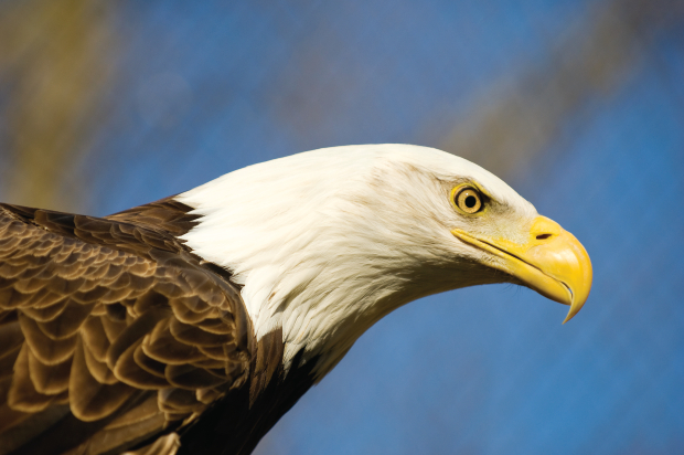 Eagle Watching at Starved Rock Park