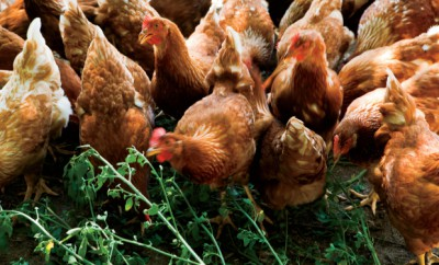 Raising Poultry Produces Golden Moments