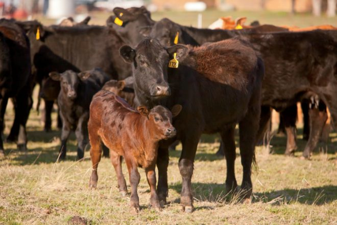 Beef Cattle and calves