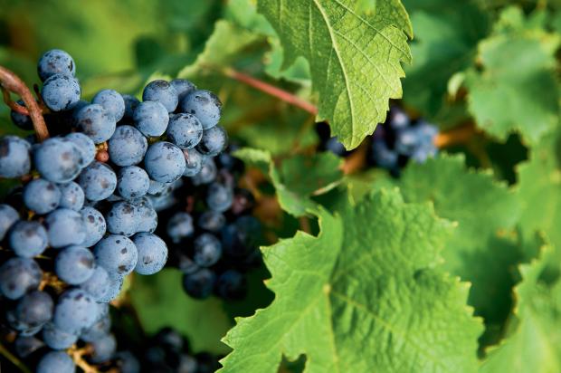 Festival of the Vine