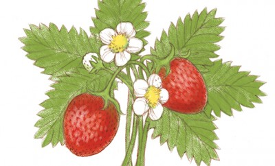 Facts about strawberries
