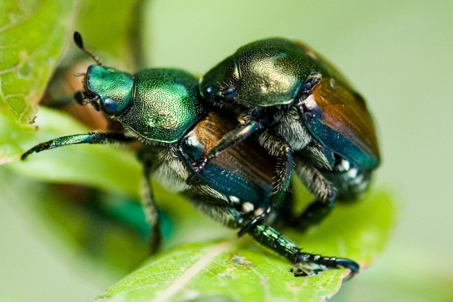 japanese beetles photo by Brandon Heyer