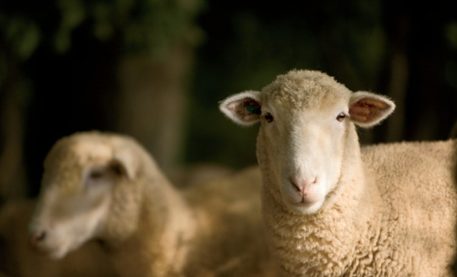 Farm Facts: Sheep