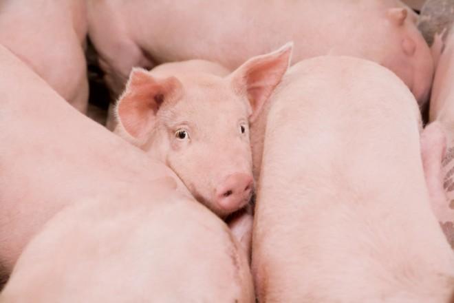 pork pride month