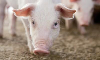 pig - pork month