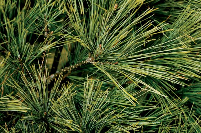 White pine Christmas tree needles
