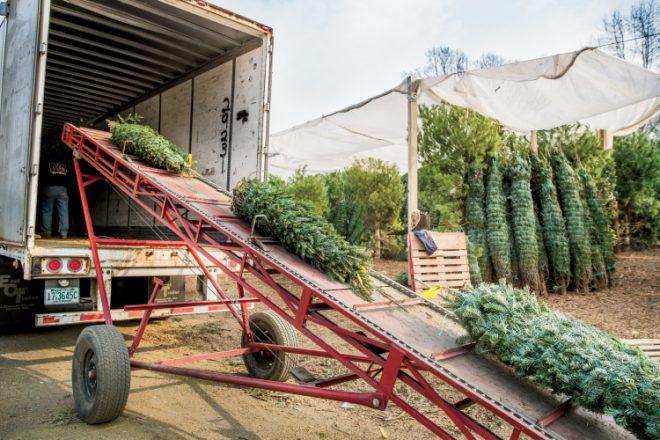 Christmas tree farm wholesale trees