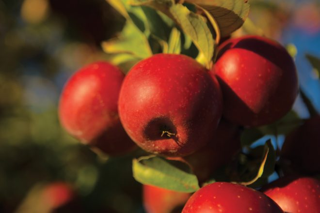 Feature 4 Fall 2014: Apple Tips from a farmer
