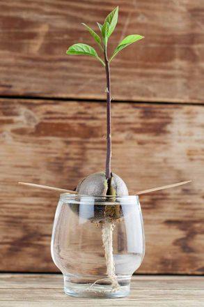 Advice-on-Growing-Avocado-Trees
