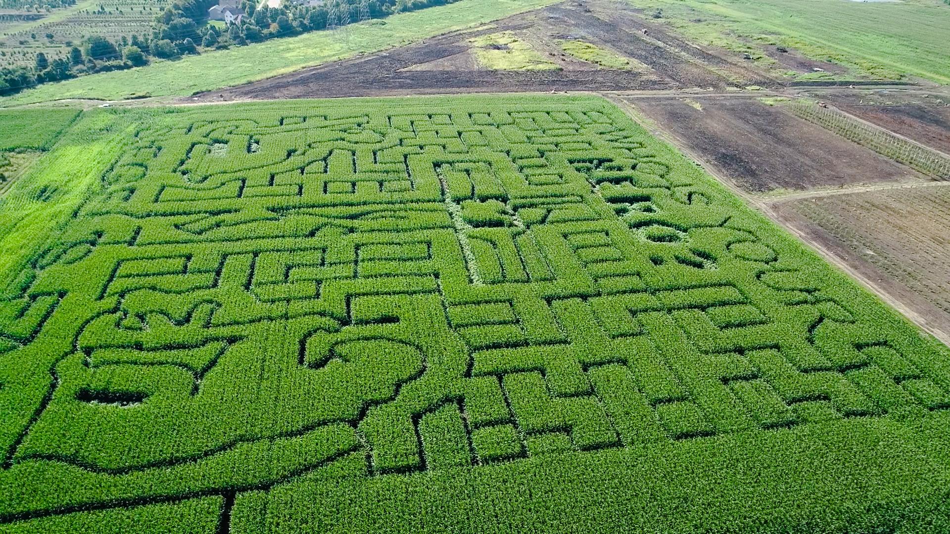 seigel's corn maze