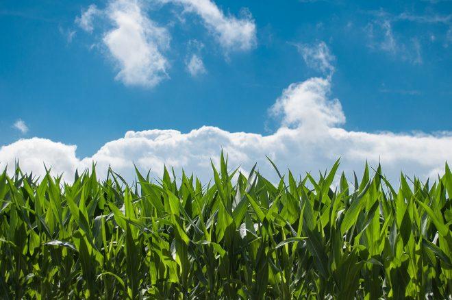 corn-field-440338_1920