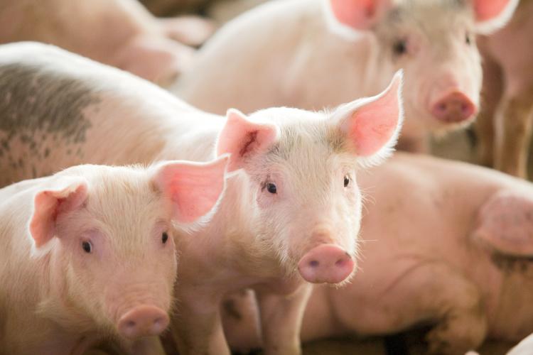 pigs covid-19