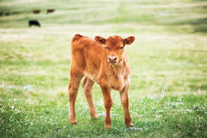 Red Angus calf standing in green grass of a Montana ranch pasture