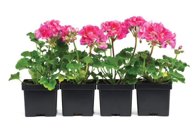 Geranium Seedling Plants in Retail Plastic Container Pot on White