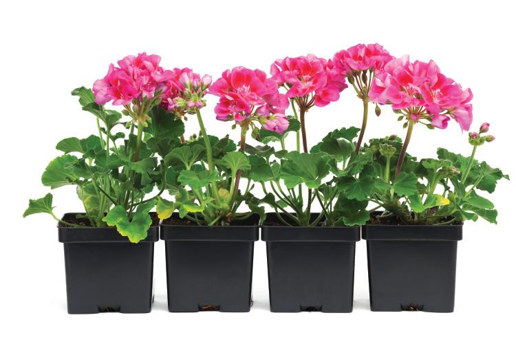 transplanting perennials