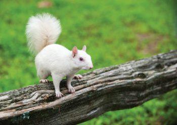 Olney white squirrels