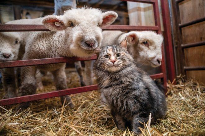 Winter Lambing
