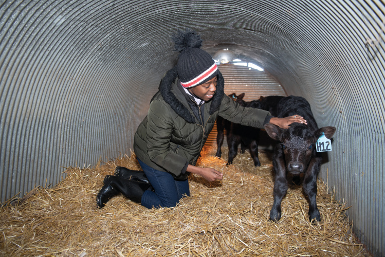 Illinois State University students help with calving