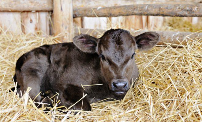 newborn calf laying in fluffy straw